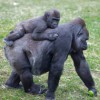Scientists explore heart disease in great apes
